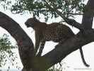 Leopard_12
