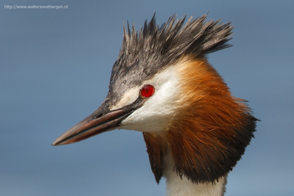 Great Crested Grebe  (RWK)