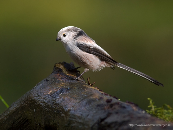 Long-tailed Tit (UHR)
