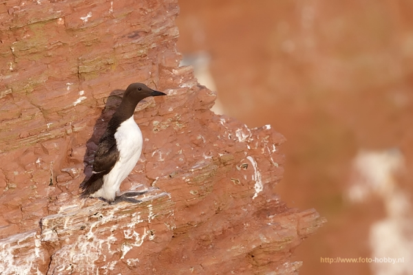 Common Murre _7
