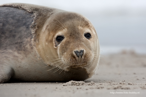 Common Seal_13