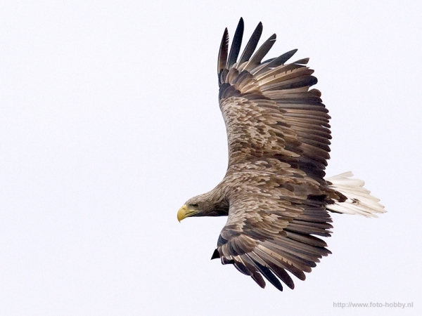 White tailed_eagle_14